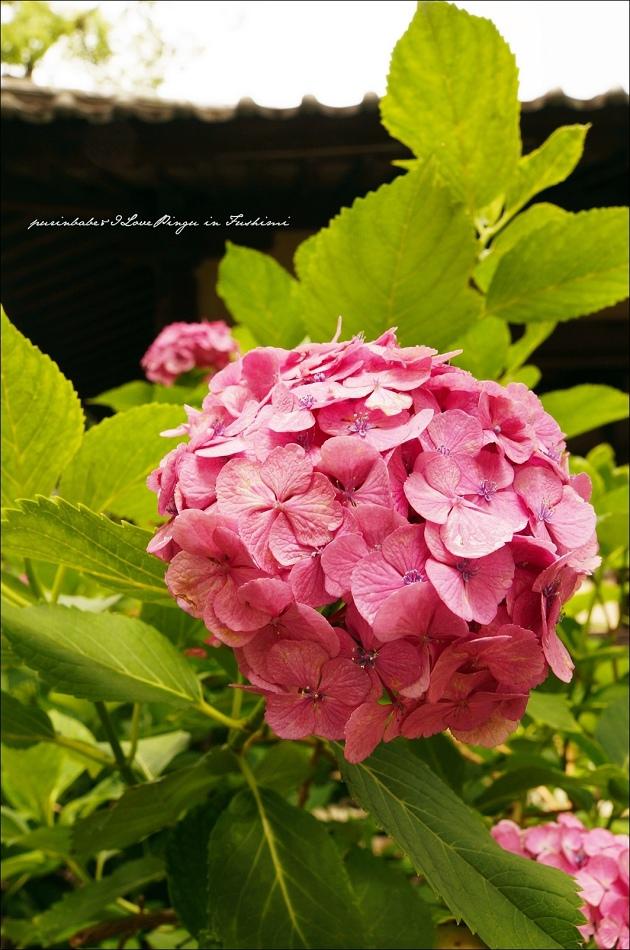 34藤森神社紫陽花2