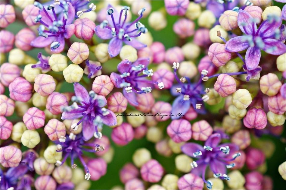 32額紫陽花2