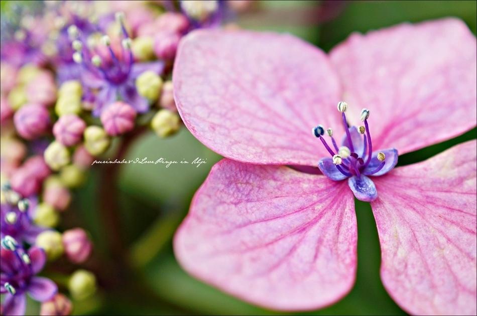 33額紫陽花3