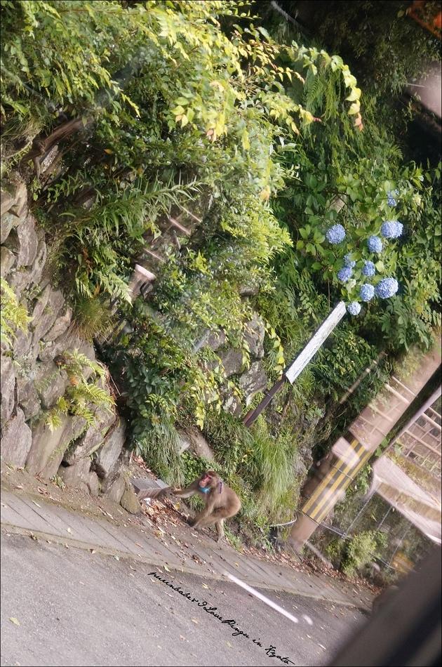 5捕捉野山獼猴