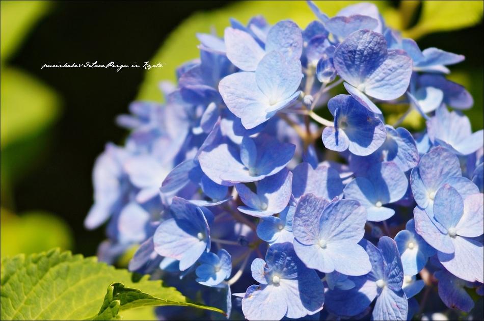 28三千院紫陽花2
