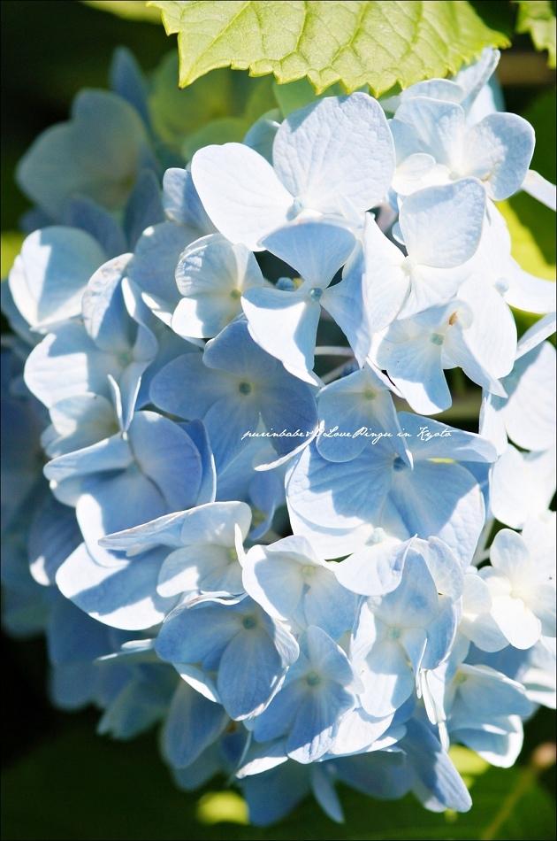 27三千院紫陽花1