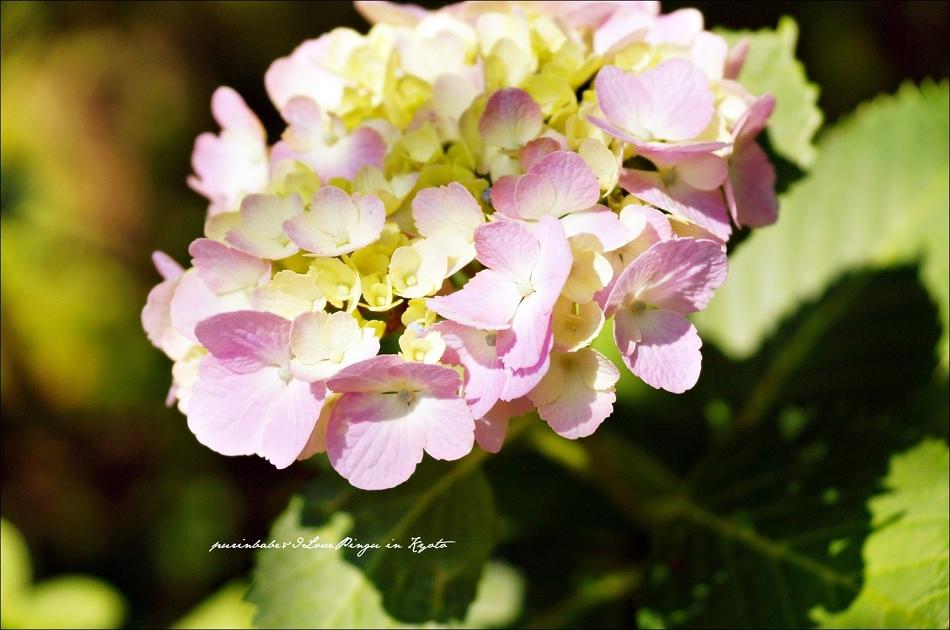 29三千院紫陽花3