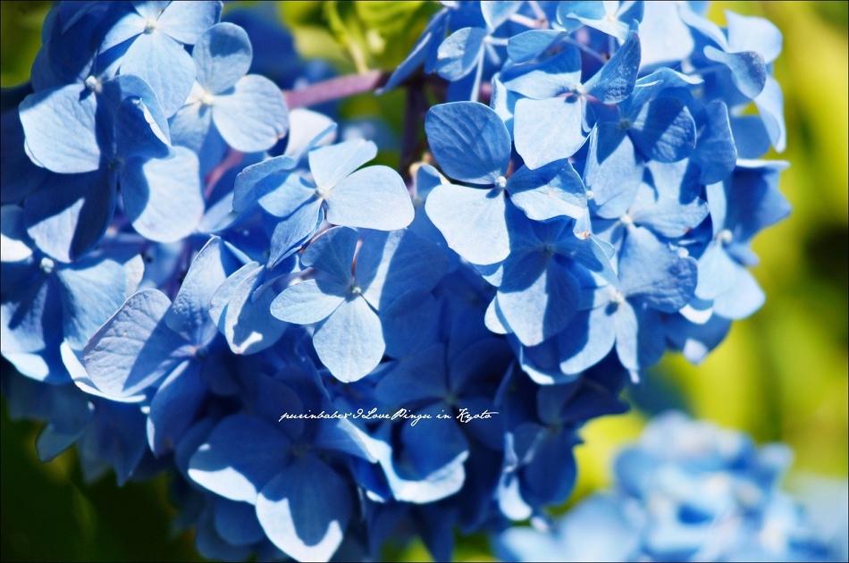 30三千院紫陽花4