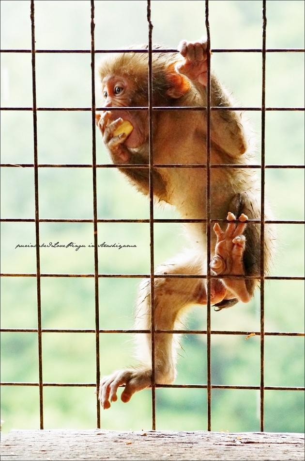 36鐵網小猴3
