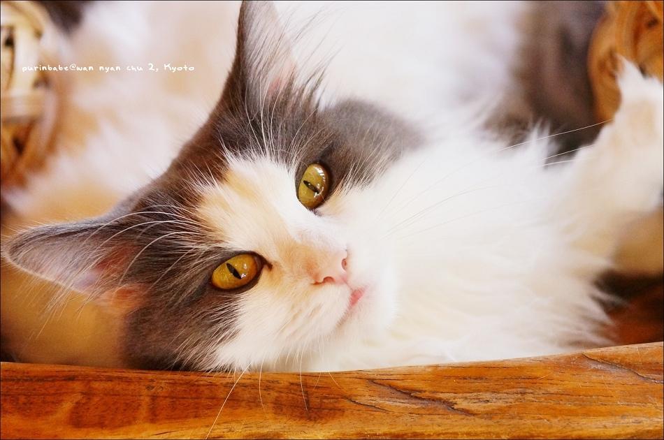 23毛球貓