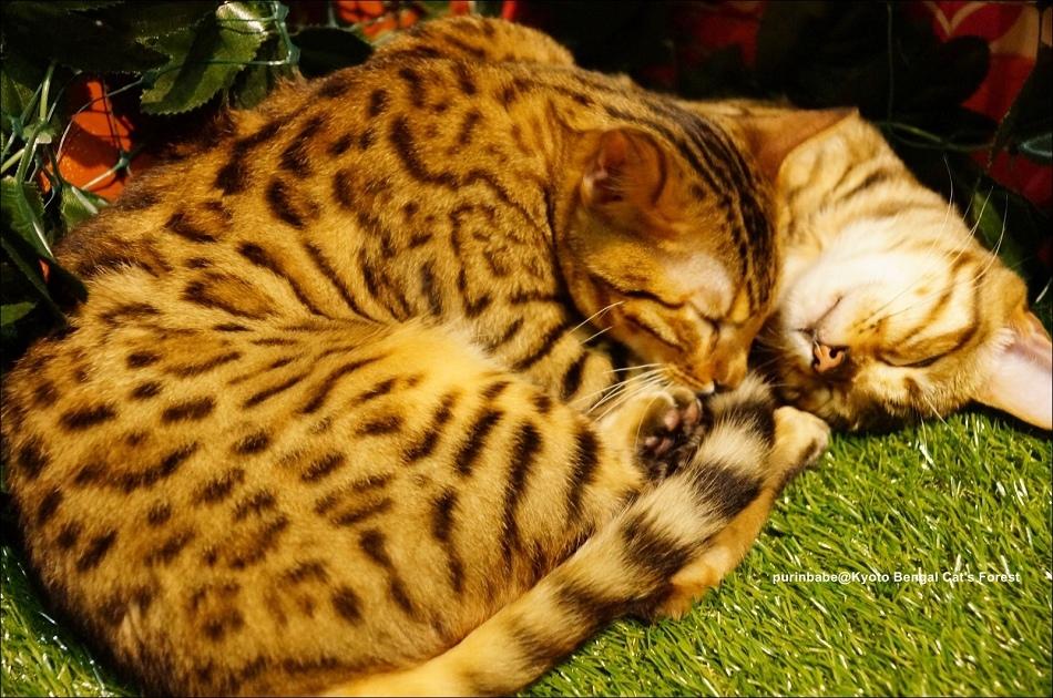 39豹貓6