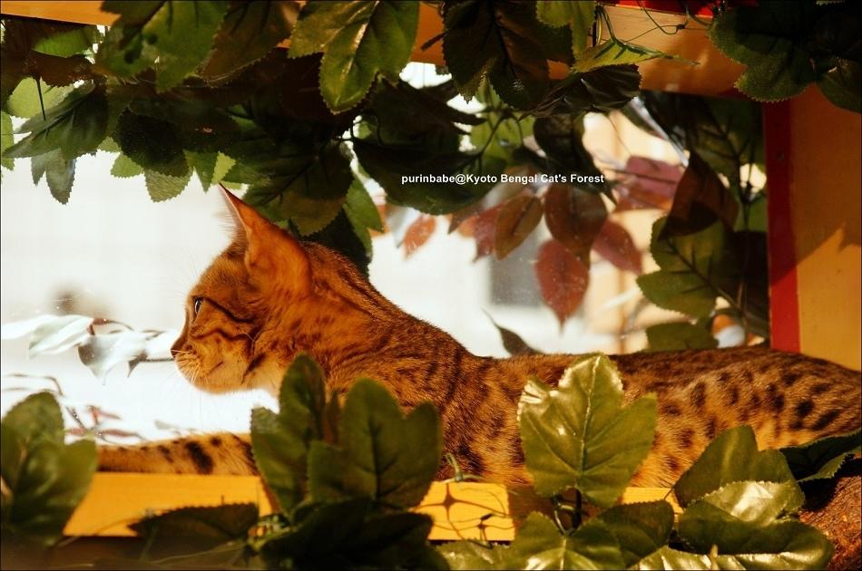 36豹貓3