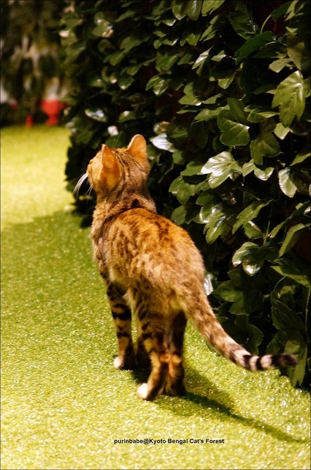34豹貓1