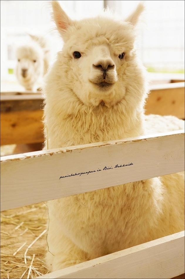 26可愛羊駝2