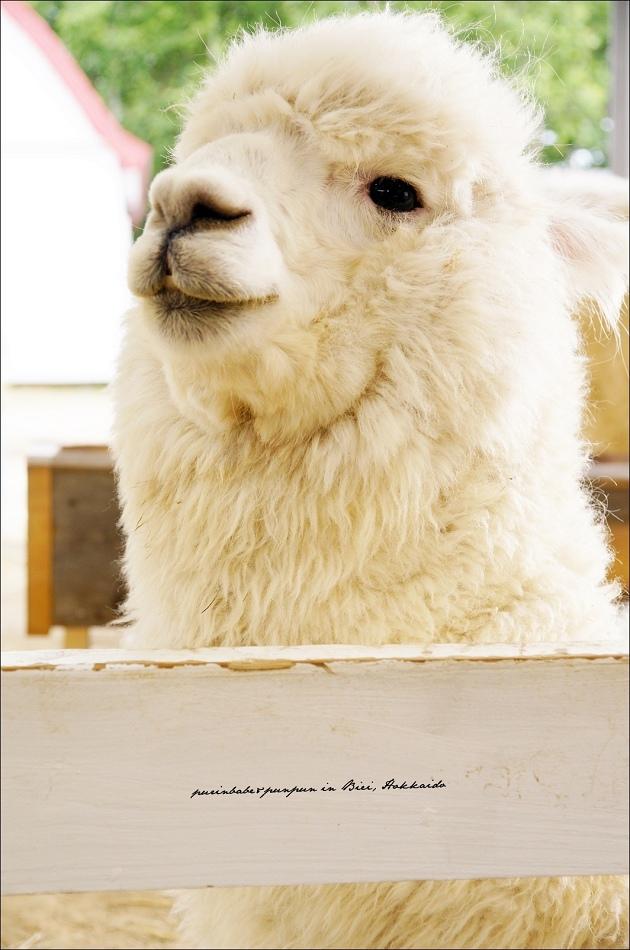 27可愛羊駝3