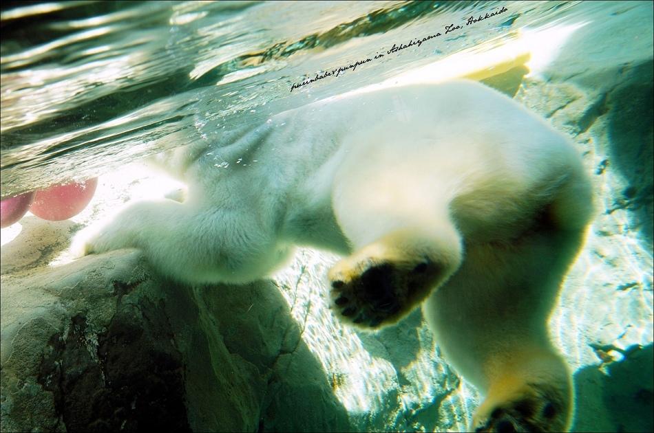 26北極熊游泳3