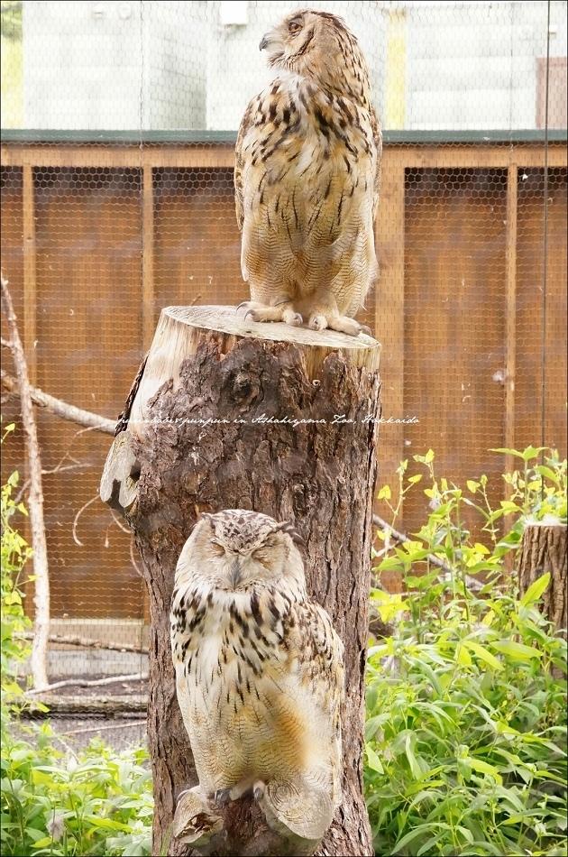 38北海道貓頭鷹