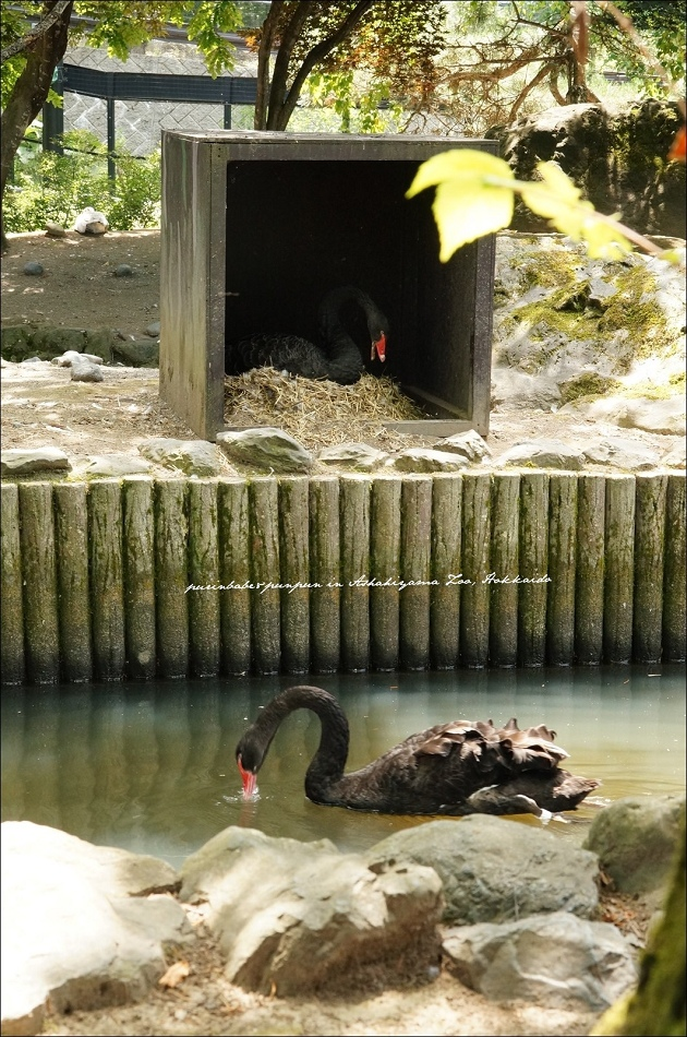 31黑天鵝築巢