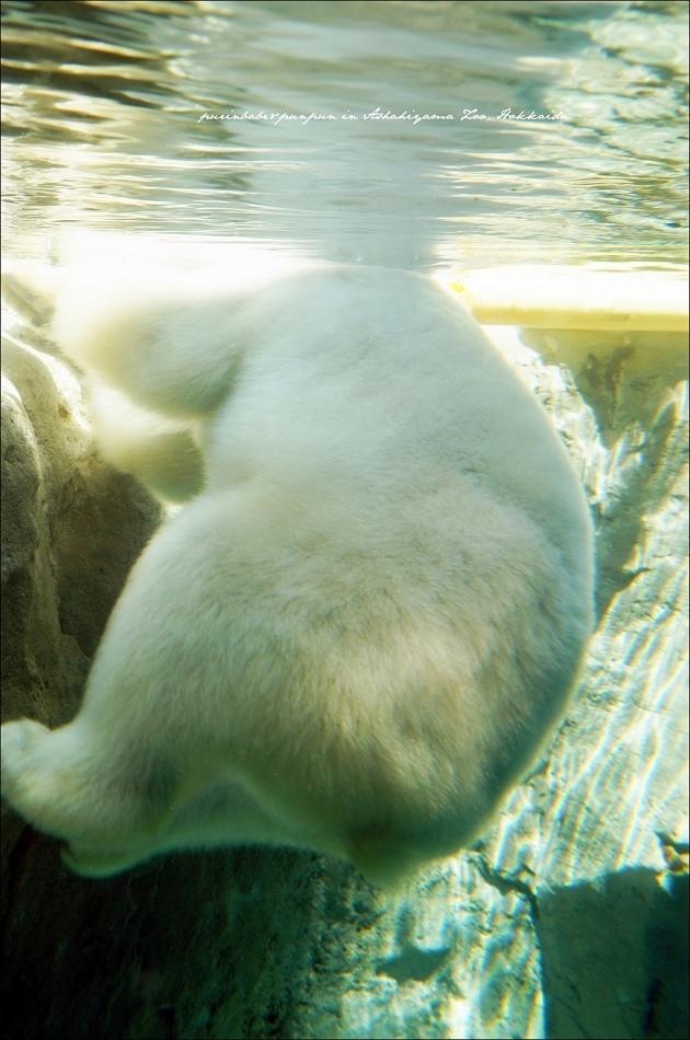 24北極熊游泳1