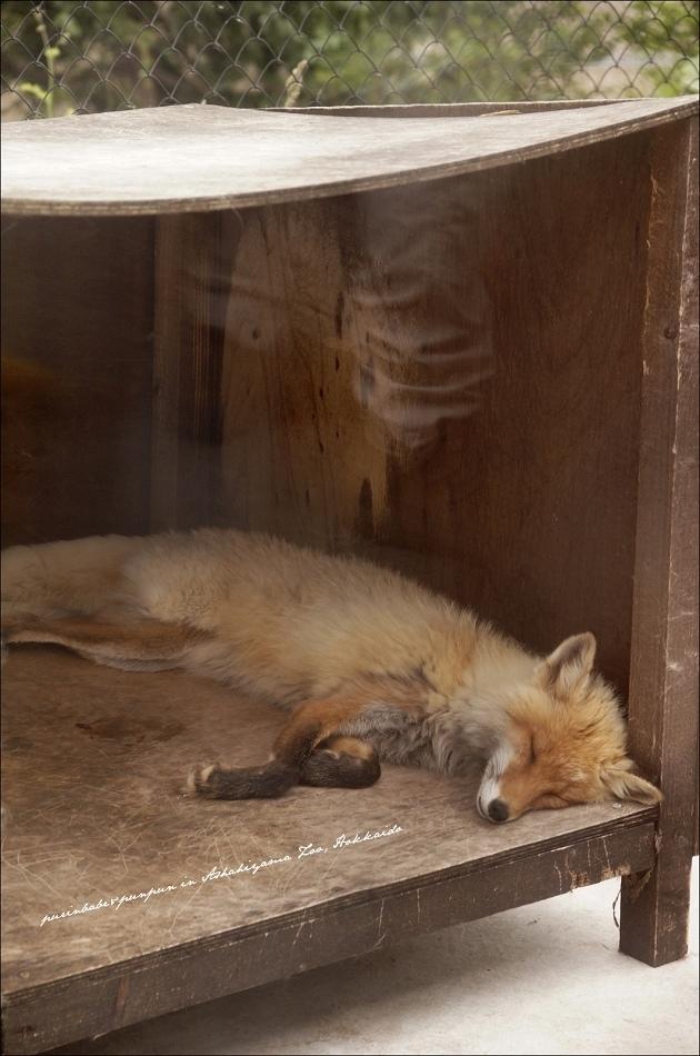 40北海道紅狐