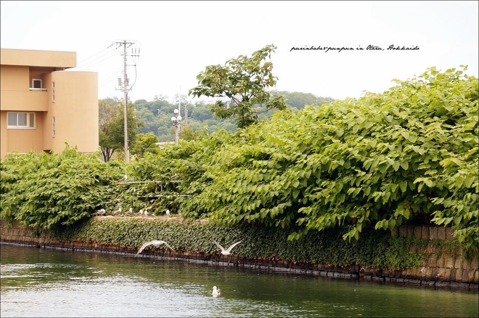 7小樽運河與海貓