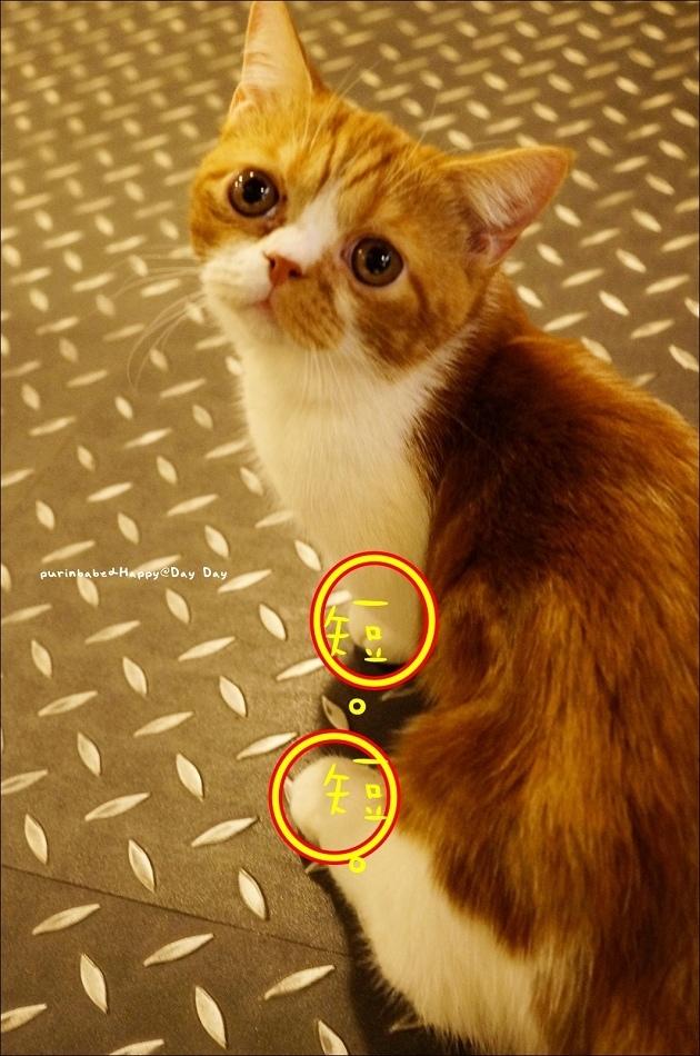 9曼赤肯貓Ayumi