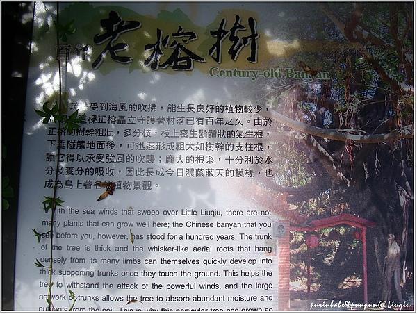 10百年榕樹說明.jpg