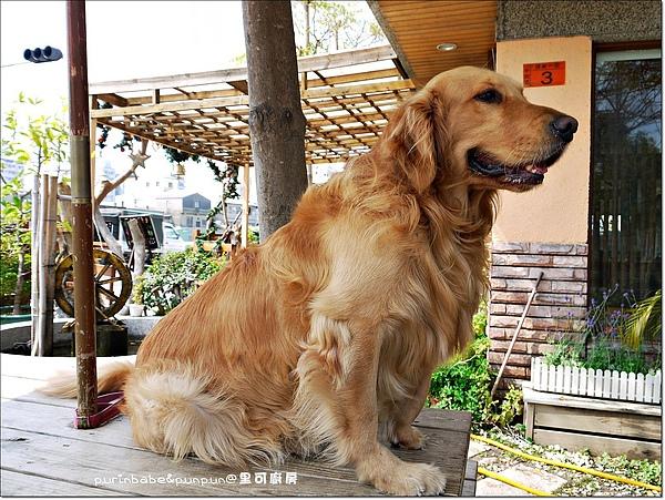 3黃金獵犬.JPG