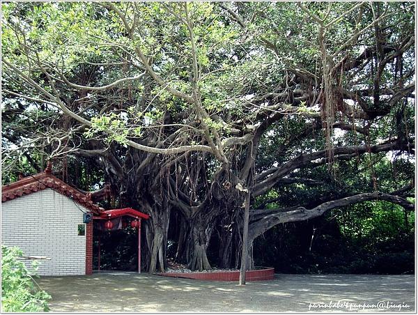 9百年榕樹.jpg
