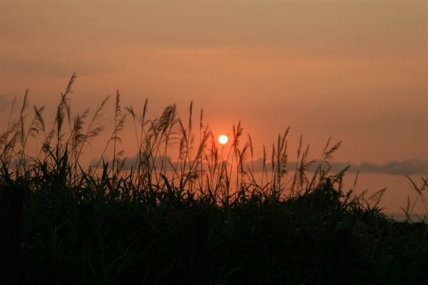 映著夕陽餘暉的芒草,已經不是美字可以形容的了!