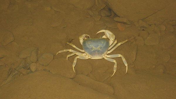 澤蟹-藍色