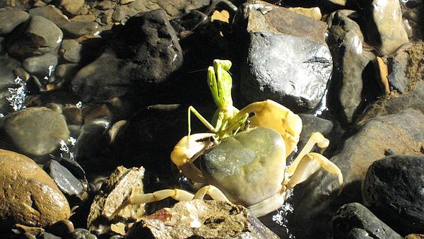 螃蟹吃蚱蜢
