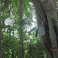蘭花原來長在樹上XD
