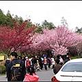 武陵農場賞櫻-01