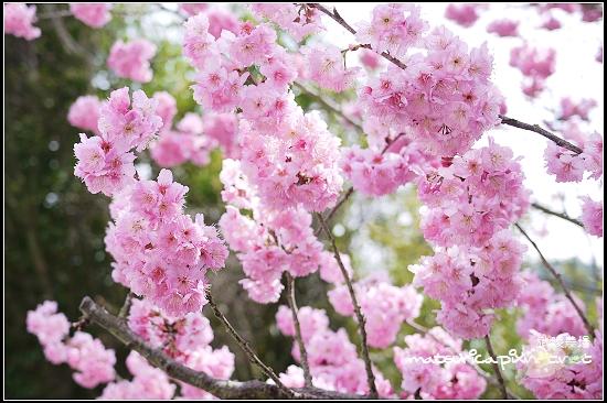 武陵農場賞櫻-06