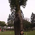 中文名為「佛肚樹」的昆士蘭瓶幹樹