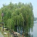 湖邊美麗的柳樹