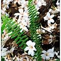 開始看到滿地的油桐花