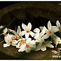 躲在一角的油桐花