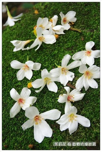 青苔上的桐花