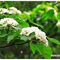 樹上的桐花