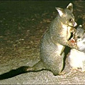 Possum(Mother & Child)