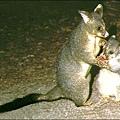 Possum(Mother & Child)