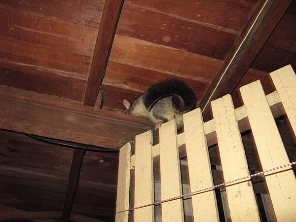 爬到我家的Possum