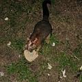 Possum又來吃吐司