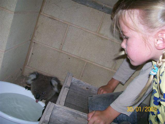 koala01.jpg