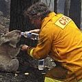 Koala by AP.jpg