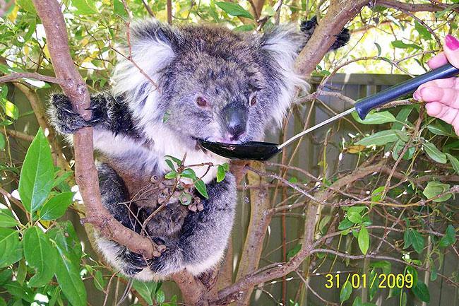 Koala10.bmp