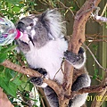 Koala12.bmp