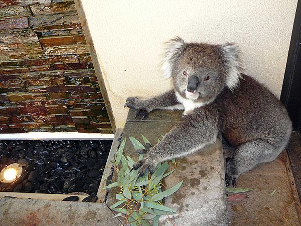 Koala16.bmp