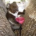 Koala17.bmp