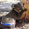 Koala21.bmp