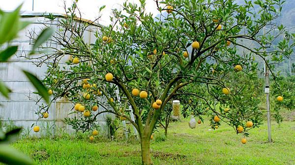 臍橙、檸檬-073