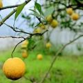 臍橙、檸檬-076
